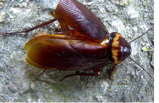 american cockroach picture